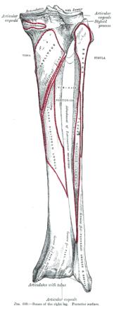 脛骨と腓骨